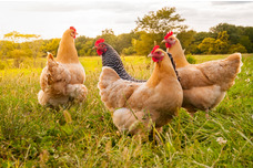 Chickens and Poulty